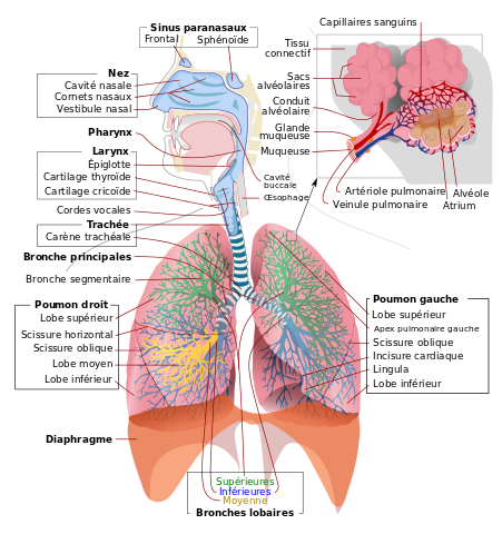 Cap-petite-enfance-appareil-respiratoire