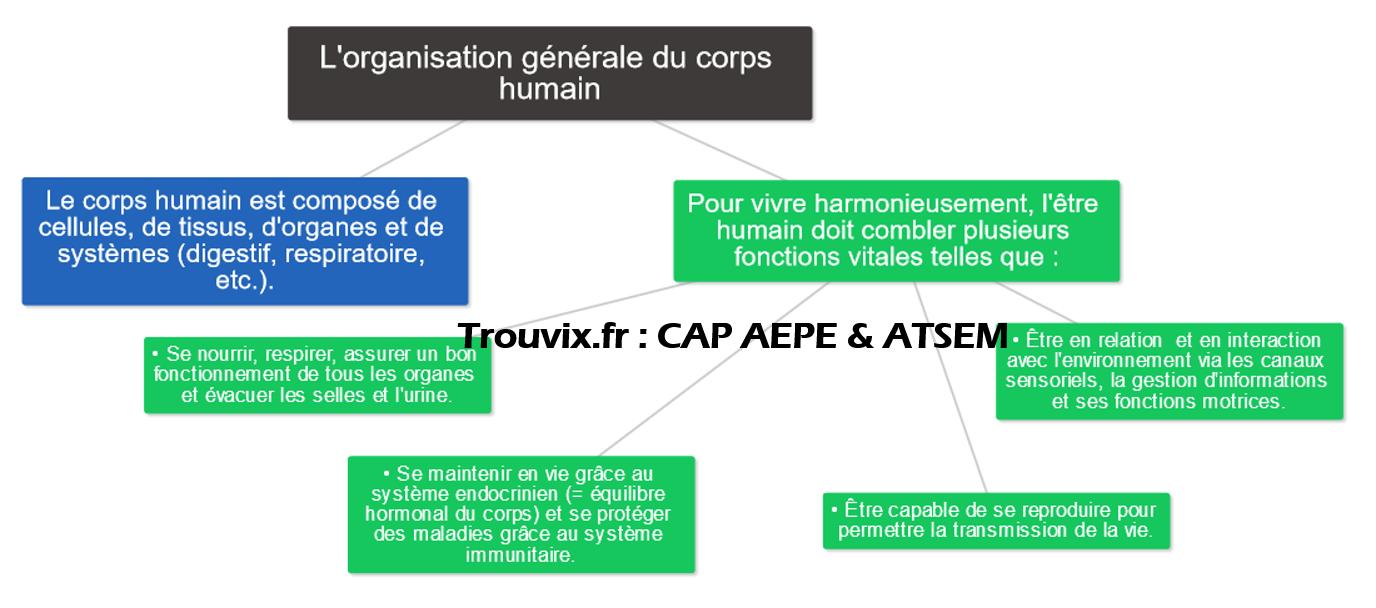 cap-petite-enfance-gratuit-organisation-corps-humain